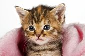 Kitten in pink blanket looking alert and ready to play poster