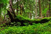 Moss covered old tree trunk in wild forest poster