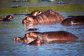 Hippo, hippopotamus in river. Safari in Serengeti, Tanzania, Africa poster