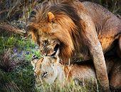 A couple of male lion and female lion copulation on savanna. Safari in Serengeti, Tanzania, Africa poster