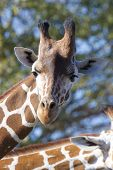 Head shot of reticulated giraffe with blurred background poster
