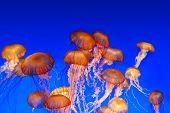 School of sea nettle jellyfish - Chrysaora fuscescens on blue background poster