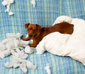 naughty playful puppy dog after biting a pillow tired of hard work poster
