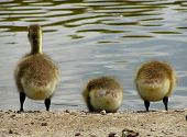 Three Baby Canadian Geese Taking a Drink poster