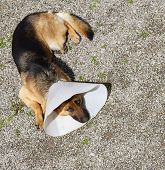 fine image of german shepherd with medical collar poster