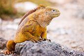 Land iguana endemic to the Galapagos islands, Ecuador poster