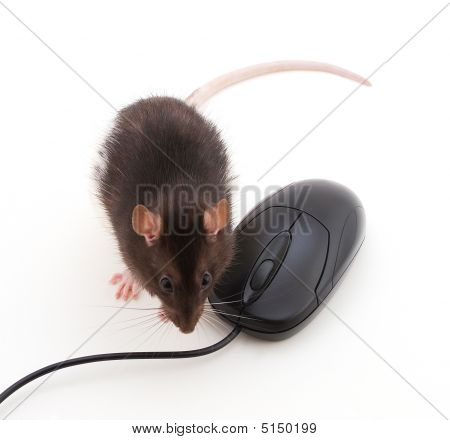 Rat Next To A Computer Mouse