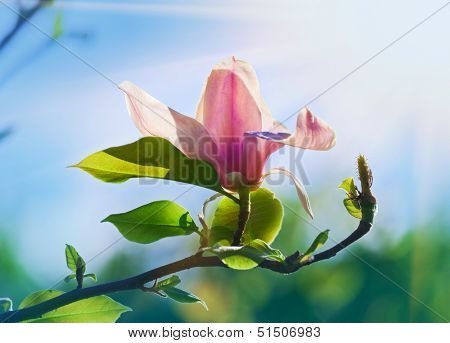 Pink abloom magnolia flower in sunny spring day with beautiful bokeh