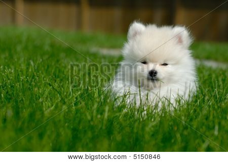 White Pomeranian Puppy On Lawn