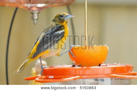 Juvenile Baltimore Oriole On Feeder (2)