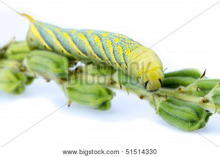 Sesame Web-worm (ceroprepes Sp.)