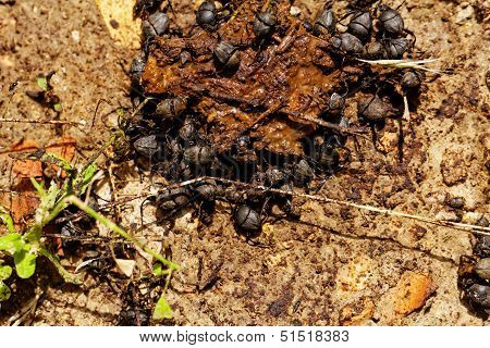 Dung Beetles In The Excreta