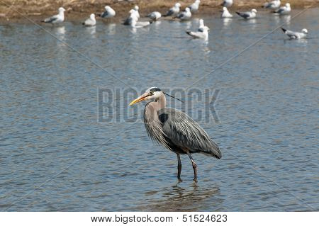 Great Blue Heron In A Pond With Gulls