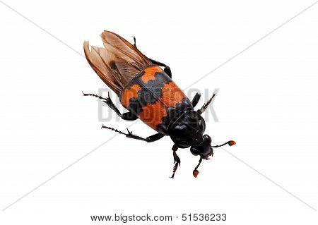 Burying Beetle (Nicrophorus Vespilloides)