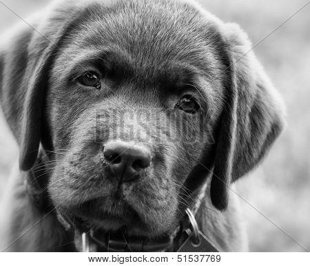 Cute labrador retriver puppy