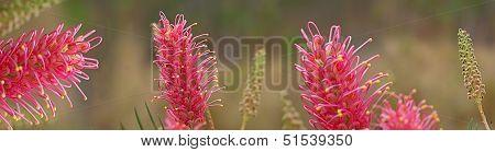 Australian Wildflower Grevillea Banner Panorama