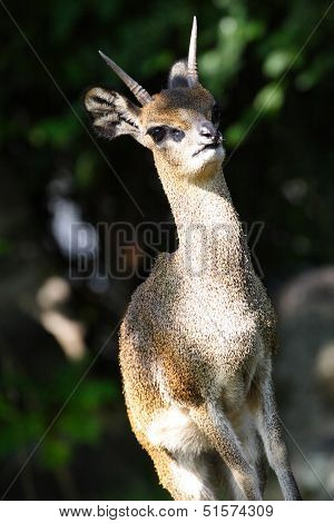 A Klipspringer, Oreotragus Oreotragus