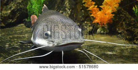 catfish fish nature
