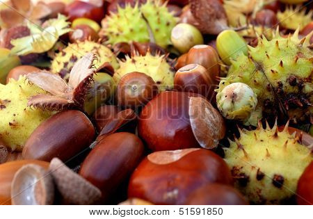 Closeup Of Horse Chestnuts, Acorns, Beechnuts And Cobnuts In Autumn Colors