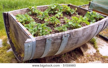 Closeup Half Barrel Filled With Strawberry Plants