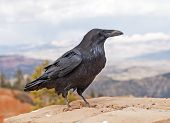 Common Raven in Bryce Canyon National Park in Utah poster