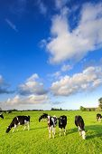 Cows grazing on a grassland in a typical dutch landscape on a suuny day poster