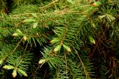 needles and buds on an evergreen tree for background use poster