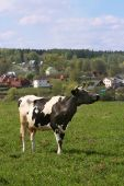 Grazing cow at the meadow in front of village poster