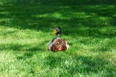 the image shows a beautiful drake sitting in the grass and relax poster