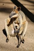 Australian wallaby with joey in pouch in rural NSW. poster