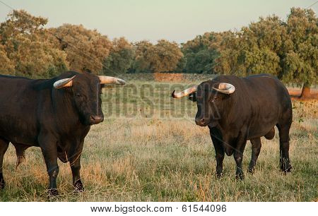 Fighting Bulls Farming Site