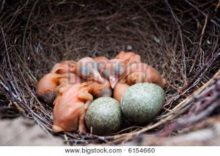 Nest Of Magpie, Pica Pica