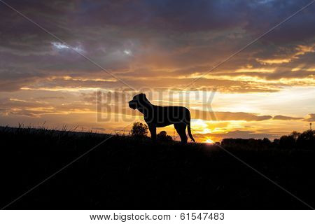 Cane Corso In Sunset