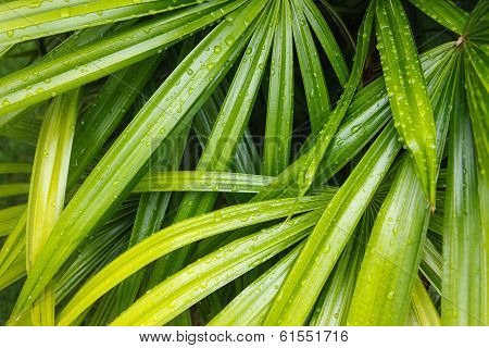 Bamboo Palm Leaves in the backyard