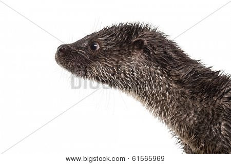 Close-up of an European otter's profile, Lutra lutra, isolated on white