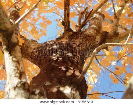 Shedding Maple