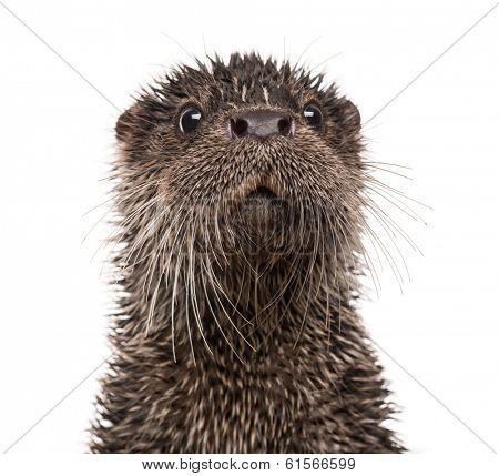 European otter, Lutra lutra, isolated on white