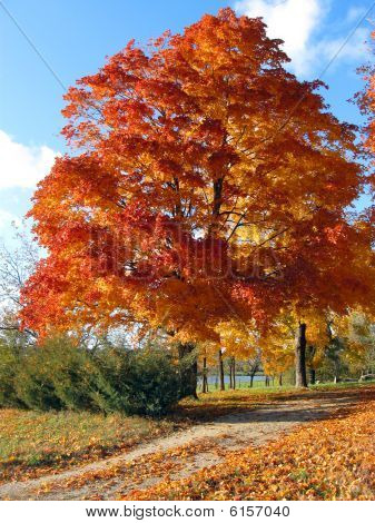 Fall Tree on Country Lane