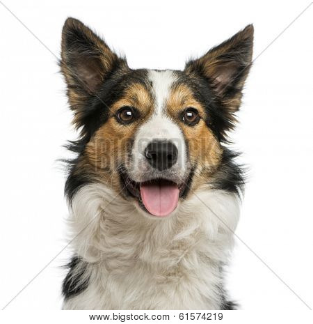 Close-up of a Border collie panting, facing, isolated on white