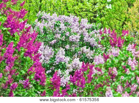 Bunch of violet lilac flower in sunny spring day