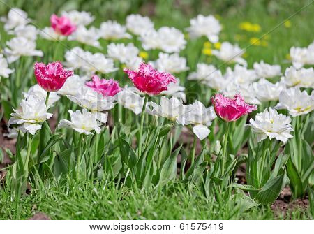 Pink and white tulips on flower bed