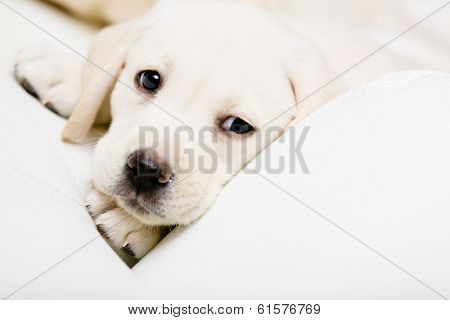 Close up of sad puppy of labrador lying on the white leather sofa