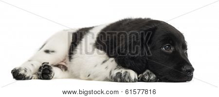 Stabyhoun puppy lying, looking away, pensive, isolated on white poster