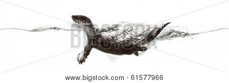 Side view of an European otter swimming at the surface of the water, making waves, Lutra lutra, isolated on white