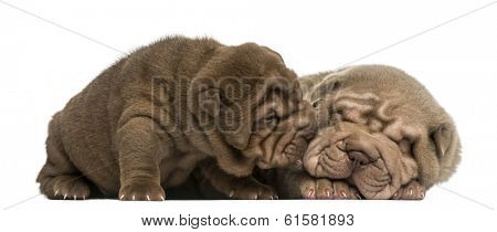 Shar Pei puppies cuddling, isolated on white poster