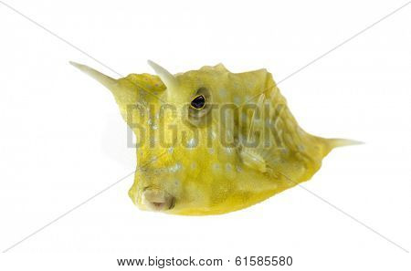Longhorn cowfish, Lactoria cornuta, isolated on white
