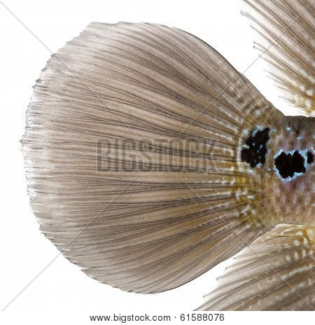 Close-up of a Living Legend's caudal fin, Flowerhorn cichlid, isolated on white