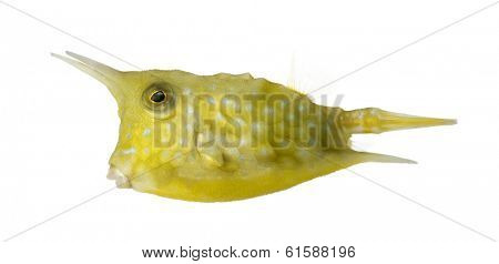 Side view of a Longhorn cowfish, Lactoria cornuta, isolated on white
