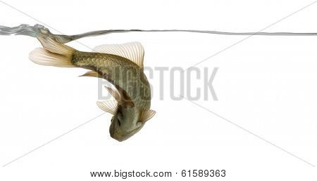 Eurasian minnow viewed from below, swimming under water line, Phoxinus phoxinus, isolated on white