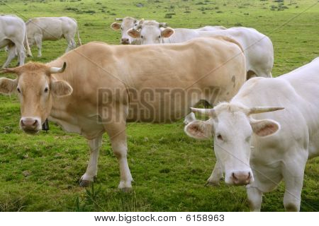 Beige cows cattle eating on the green grass meadow otudoor poster